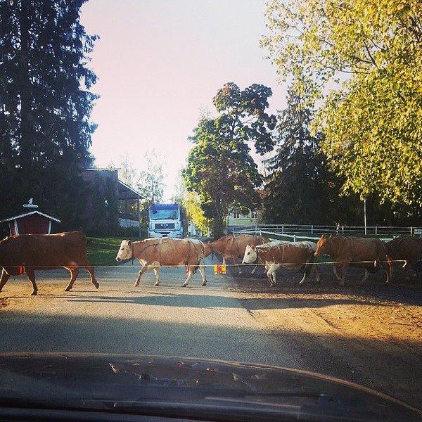 Tie on aamuisin poikki, kun lehmät päästetään laitumelle